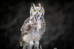 Beautiful Grey horned owl Stock Photography