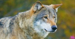 Close-up of beautiful grey wolf standing in the forest observing