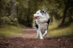 Close up of beautiful and happy australian shepherd on forest pathway, looking on left, profile view. Close up of beautiful and happy australian shepherd on stock photography