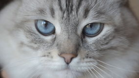 Close-up of a beautiful home gray cat with blue eyes. In slow motion stock footage