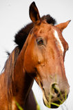 Close-up of a beautiful horse Royalty Free Stock Image