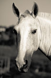 Close-up of a beautiful horse Royalty Free Stock Photo