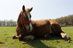 Close up of beautiful horse lying on the grass Royalty Free Stock Photo