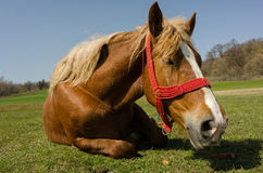 Close up of beautiful horse lying on the grass Stock Photography