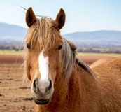Portrait of the horse, horse stands in the field, on a background of mountains royalty free stock images
