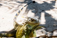 Close up of a beautiful huge green iguana resting over a sand in san Andres beach.  Royalty Free Stock Photos