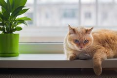 Huge white red cat with blue eyes and long hair lies on windowsill in apartment and looks at camera next to gray toy mouse stock photography