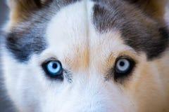 Close-up of Beautiful Husky Royalty Free Stock Images