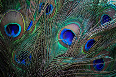 Close up of beautiful of indian peacock fan tail Stock Photos