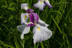 Close-up of beautiful iris flower in the garden Royalty Free Stock Images