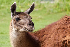 Close-up of the beautiful lama Royalty Free Stock Photography