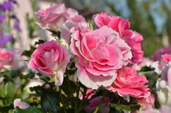Close up beautiful light pink rose in a garden. Beautiful light pink rose garden Royalty Free Stock Image