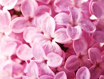 Close-up Beautiful Lilac Background Royalty Free Stock Photo