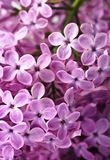 Close-up Beautiful Lilac Background Stock Photos