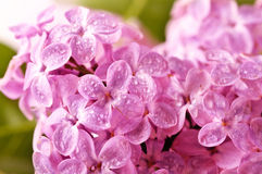 Close-up Beautiful Lilac Background Stock Images