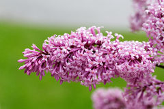 Close-up beautiful lilac flowers with the leaves Stock Images