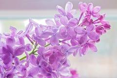 Close-up of beautiful lilac Stock Image