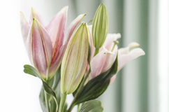 Close up of a beautiful Lily in natural light, soft, selective focus. Stock Photo