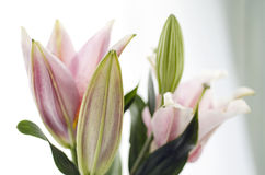 Close up of a beautiful Lily in natural light, soft, selective focus. Stock Image