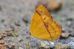 Close up of a Beautiful Little Banner Nica flavilla butterfly stock photography