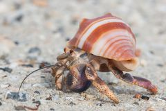 Close up of a beautiful little hermit crab Royalty Free Stock Images