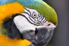 Close up beautiful macaw bird Royalty Free Stock Images