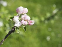 Close up beautiful macro blooming pink apple blossom bud flower royalty free stock image