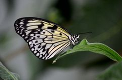 Close up of beautiful Malabar Tree Nymph butterfly resting on leaf Stock Photography