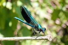 Close-up of beautiful male Metallic Green-Blue Damselfly on reeds royalty free stock photos