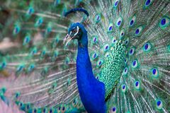 Close up of beautiful male peacock with feathers. Close up of beautiful male peacock with multi colorful feathers stock image