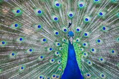 Close up of beautiful male peacock with feathers. Close up of beautiful male peacock with multi colorful feathers stock photography