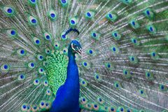 Close up of beautiful male peacock with feathers. Close up of beautiful male peacock with multi colorful feathers stock images