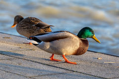 Close up from a beautiful mallard Stock Photos