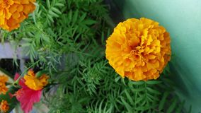 Close up of beautiful Marigold flower pattern in the windy garden closeup. stock video footage