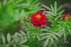 Close up of beautiful Marigold flower stock photo