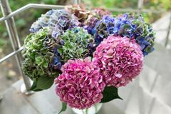 Close up of Beautiful Multi colored hydrangea flowers, natural background. Holland Stock Photos