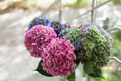 Close up of Beautiful Multi colored hydrangea flowers, natural background. Holland Stock Photography