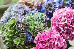Close up of Beautiful Multi colored hydrangea flowers, natural background. Holland Stock Photo