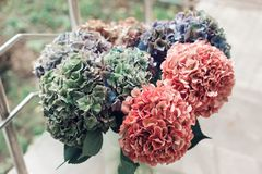 Close up of Beautiful Multi colored hydrangea flowers, natural background. Holland Royalty Free Stock Images