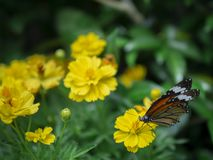 Close up beautiful orange butterfly Common Tiger Danaus genutia pollination yellow flower with green garden background.  royalty free stock photos
