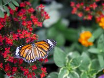 Close up beautiful orange butterfly Common Tiger Danaus genutia on red flower with green garden background royalty free stock photo