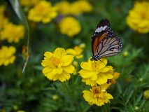 Close up beautiful orange butterfly Common Tiger Danaus genutia on yellow flower with green garden background.  stock images