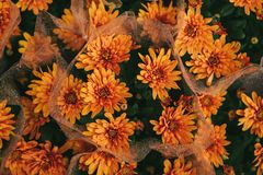 Close-up beautiful orange chrysanthemums collected in bouquets in street store. Close-up - beautiful orange chrysanthemums collected in bouquets in street store Stock Images