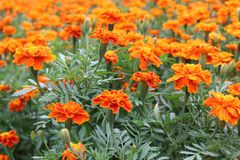 Close Up Beautiful Orange Colors of Marigold flowers and Green Leaf Background in garden Stock Photo