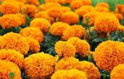 Close Up Beautiful Orange Colors of Marigold flowers and Green Leaf Background in garden Royalty Free Stock Photography