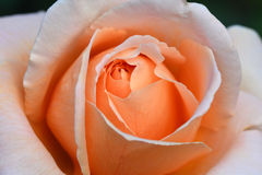 Close up Beautiful orange rose flower. Very shallow depth of field stock images