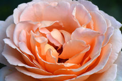 Close up Beautiful orange rose flower. Very shallow depth of field royalty free stock photo