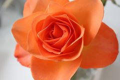 Close-up of a beautiful orange rose. A close-up of a beautiful pastel orange rose, flower. With a white background royalty free stock image