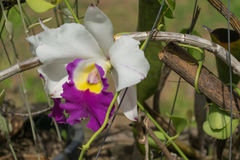 Close up beautiful orchid Cattleya. Royalty Free Stock Images