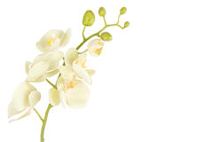 Close up of beautiful orchid flower isolated on white Royalty Free Stock Images